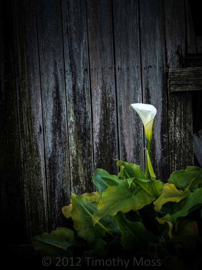 Calla-lily-shed-Omd