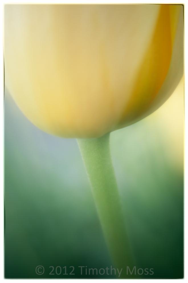 Lensbaby-soft-focus-tulip
