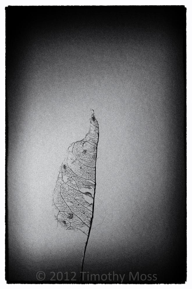 Leaf-macro-black-and-white