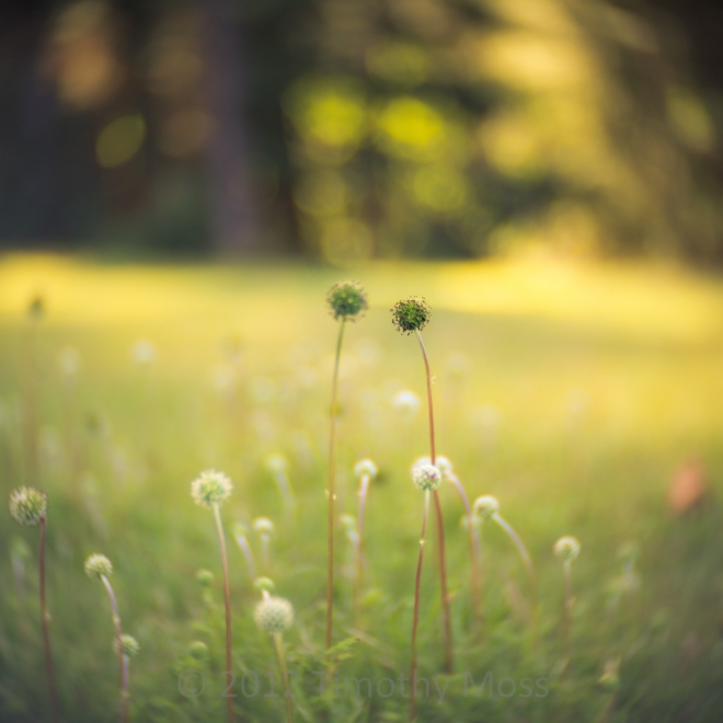 Oldina-flowers-SLRMagic